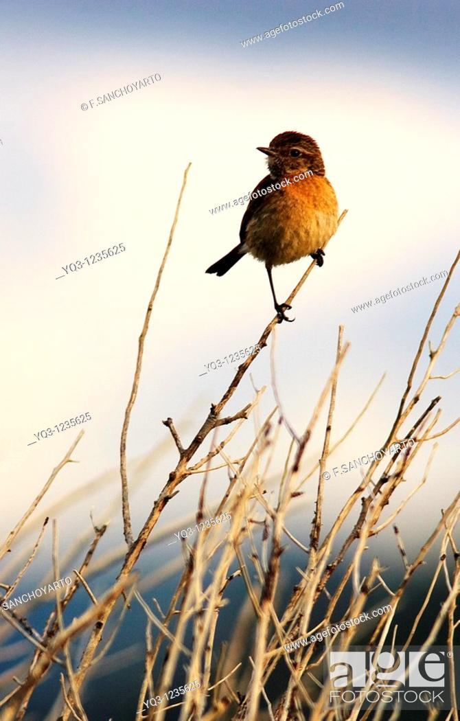 Stock Photo: Common Stonechat. Ostende, Castro Urdiales, Cantabria, Spain.