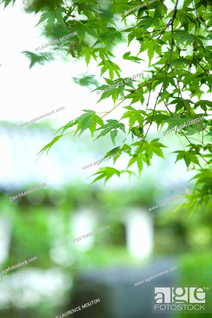 Stock Photo: Maple leaves on branch, close-up.