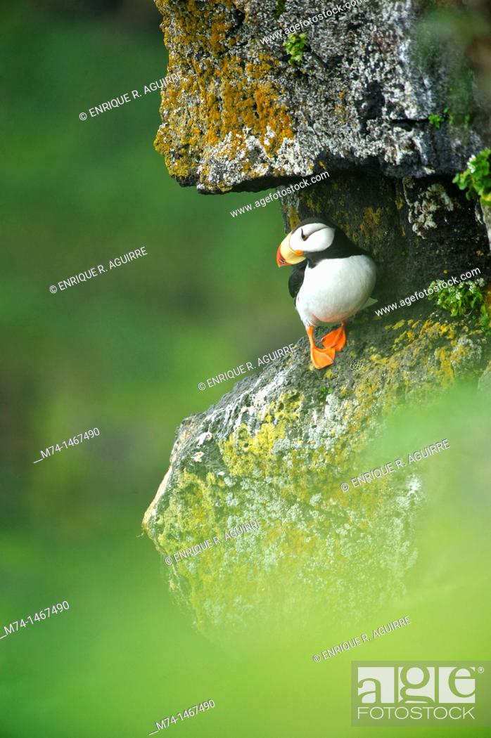 Photo de stock: Horned Puffin (Fratercula corniculata).