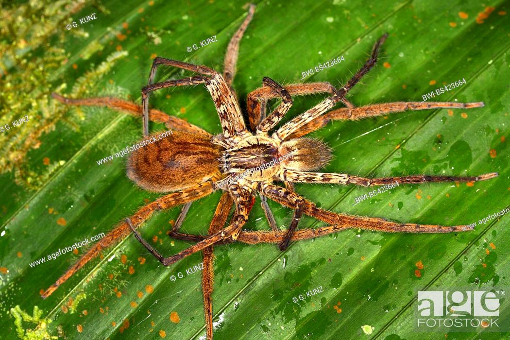 Stock Photo Wandering Spider Banana Cupiennius Coccineus Mating On A Leaf View From Above Costa Rica