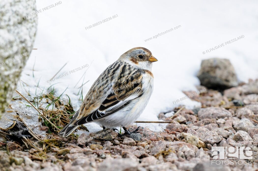 Stock Photo: Snow bunting (Plectrophenax nivalis), adult female standing on a patch of gravel on Mount Cairngorm in the Cairngorms National Park, Scotland. March.