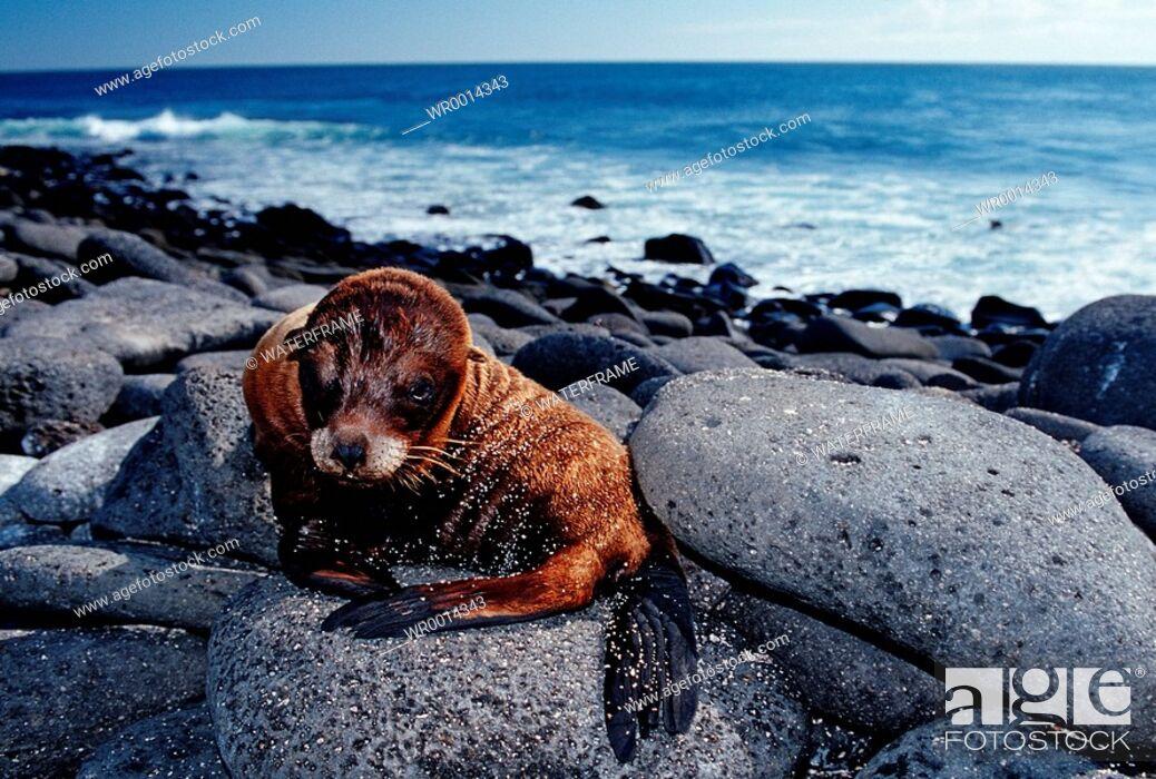 Stock Photo: Galapagos Sea Lion, Zalophos wollebaeki, Arctocephalus galapagoensis, Pacific Ocean, Galapagos, Ecuador.