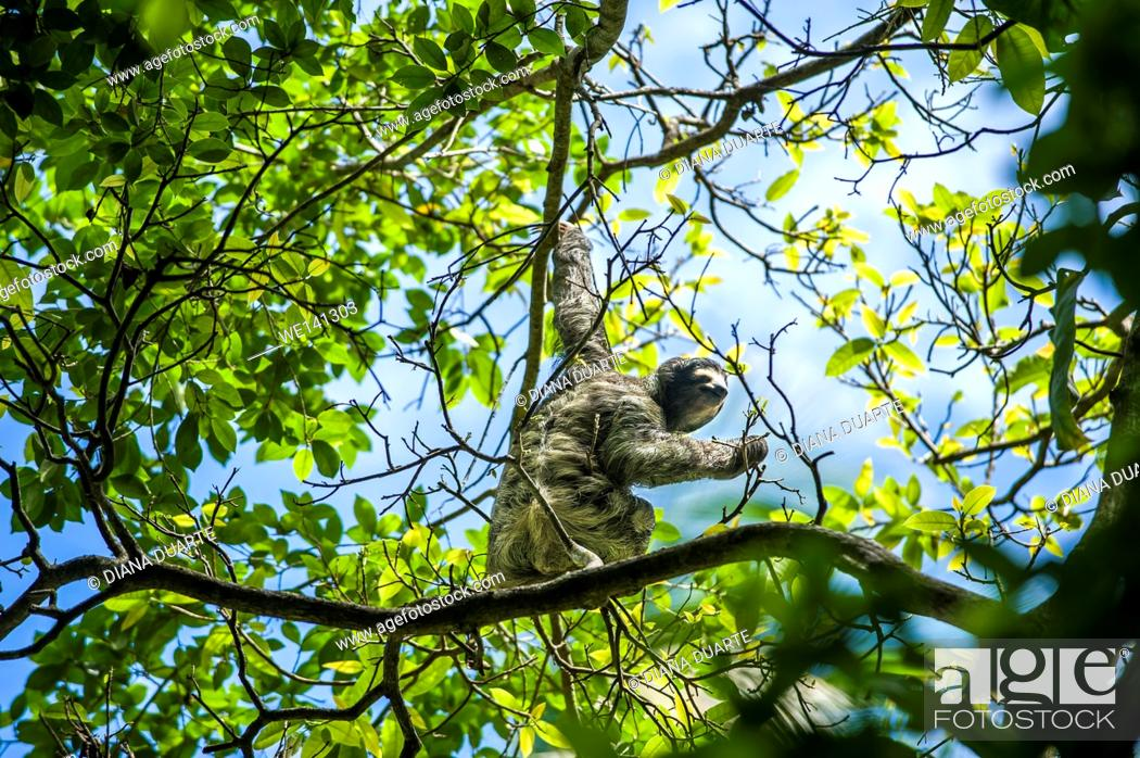 """Stock Photo: """"""""""""""""""""Pygmy three-toed sloth"""""""" (Bradypus pygmaeus), The sloth is a slow moving animal, and their long claws are the only form of defence that the sloth has."""