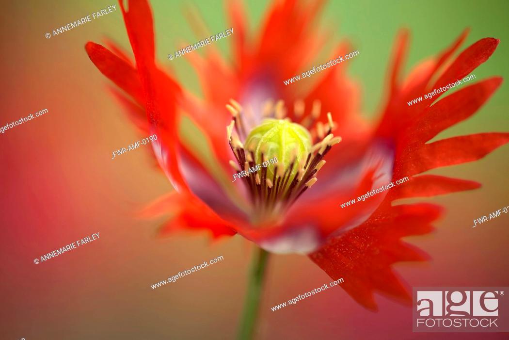 Opium poppy papaver somniferum danish flag red and white stock photo opium poppy papaver somniferum danish flag red and white coloured flower showing fringed petals and stamens mightylinksfo