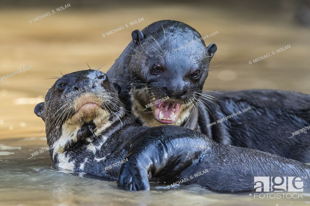 Stock Photo: Giant river otters, Pteronura brasiliensis, near Puerto Jofre, Mato Grosso, Pantanal, Brazil.