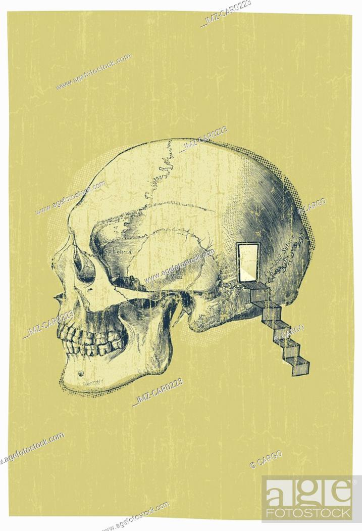 Stock Photo: Side profile of a human skull.