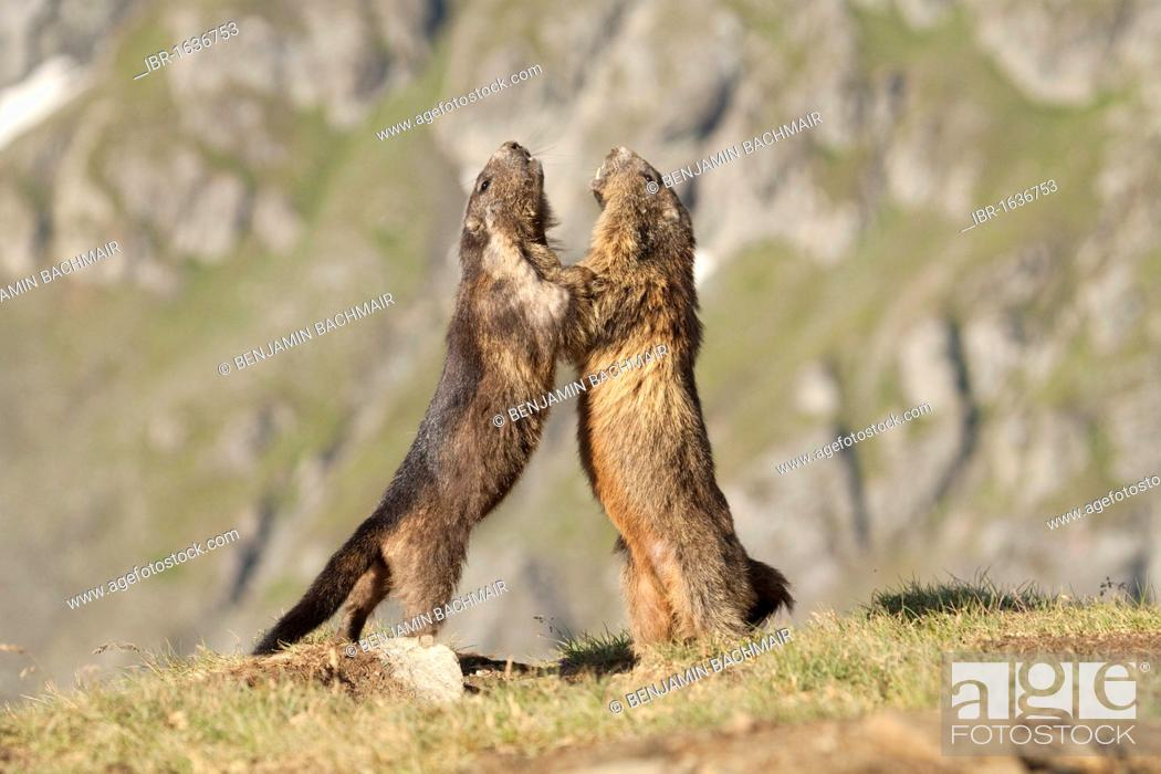 Photo de stock: Alpine marmots (Marmota marmota).