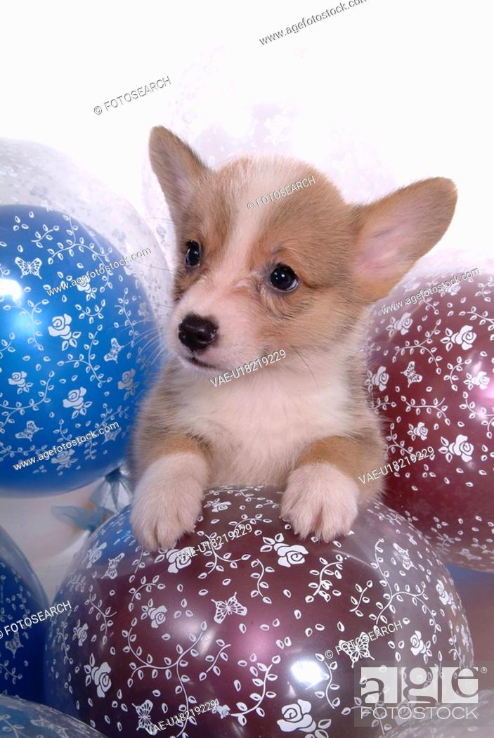 Stock Photo: balloon, puppy, canines, domestic, corgi.