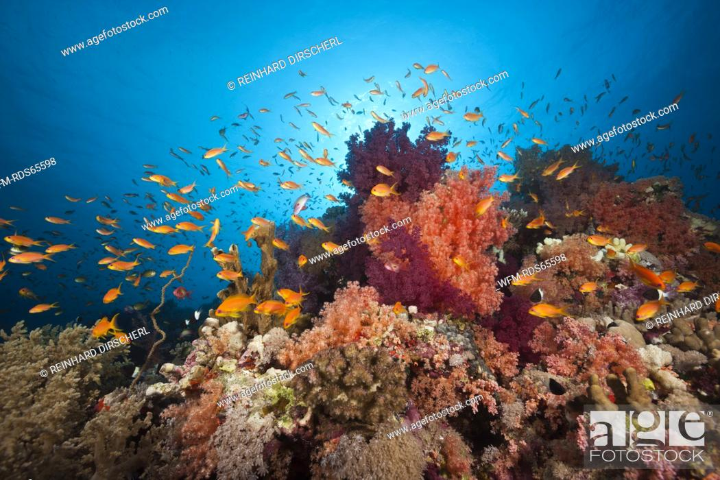 Stock Photo: Colored Soft Coral Reef, Red Sea, Ras Mohammed, Egypt.