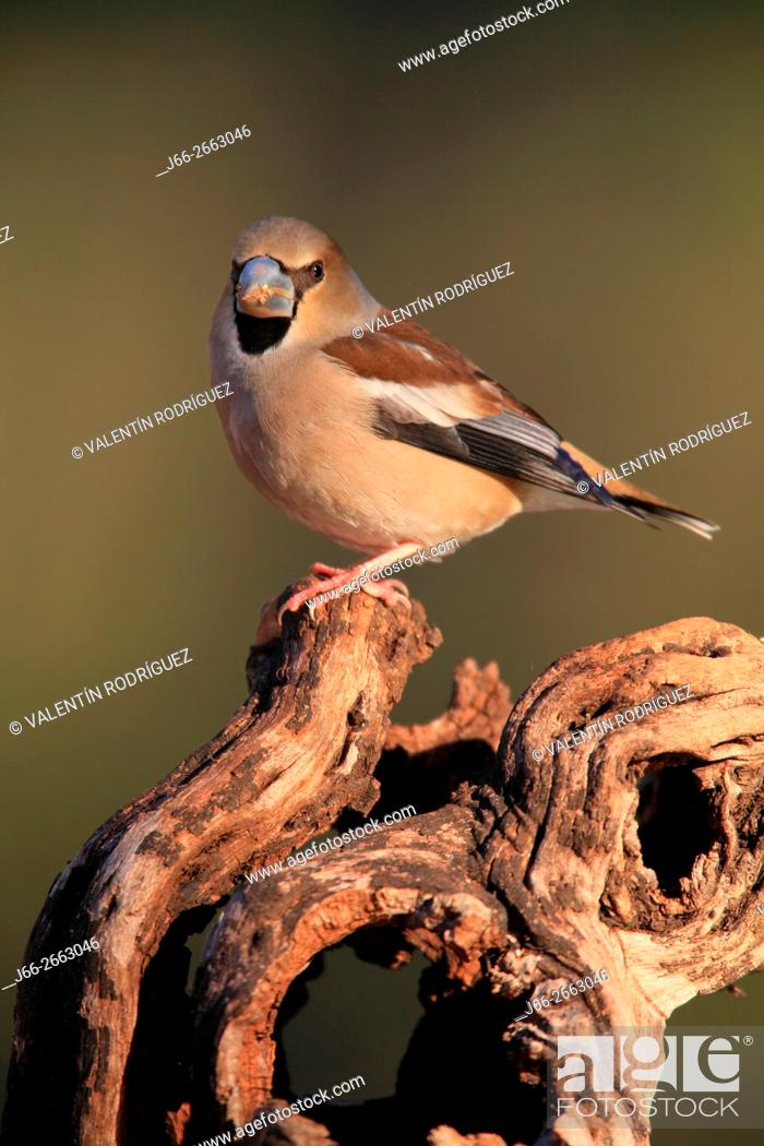 Stock Photo: Hawfinch (Coccothraustes coccothraustes) in the region of the Manchuela. Cuenca.