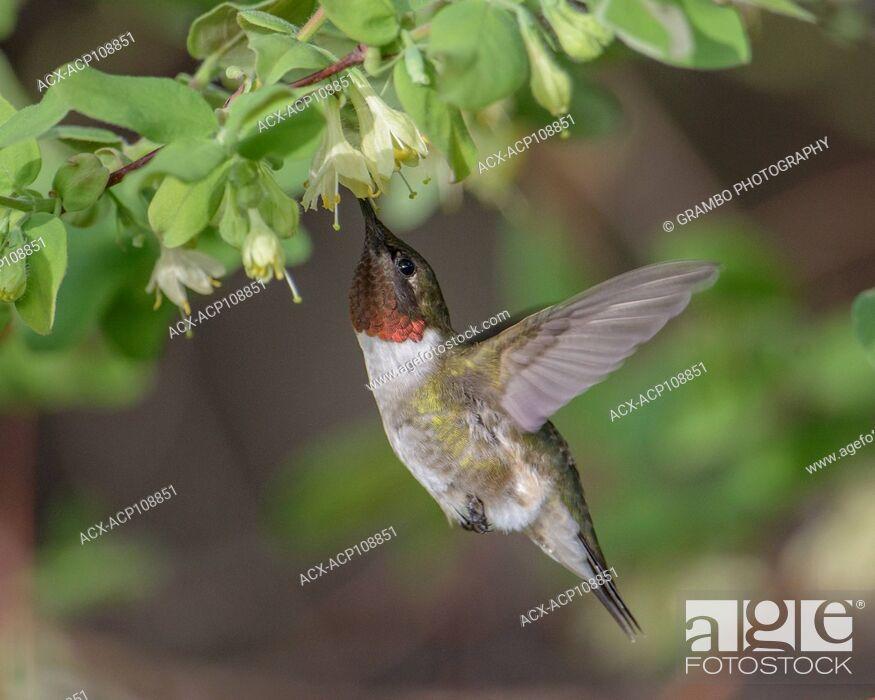 Stock Photo: Ruby-throated Hummingbird, Archilochis colubris, feeding on Haskap flowers, early spring, Warman, Saskatchewan, Canada.