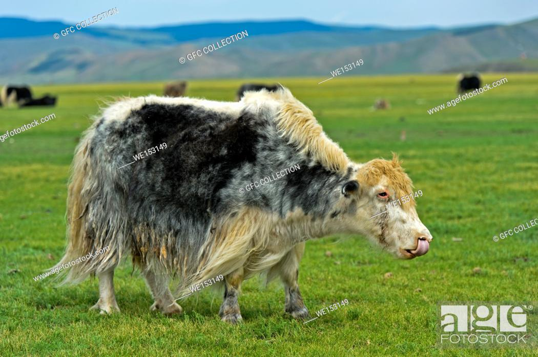 Stock Photo: Grazing yak (Bos mutus), Orkhon Valley, Khangai Nuruu National Park, Oevoerkhangai Aimag, Mongolia.