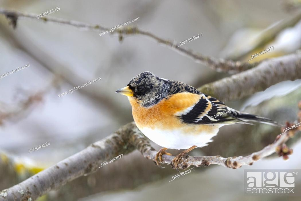 Stock Photo: Europe, France, Alsace, Obernai, Northern chaffinch (Fringilla montifringilla), male posed in a cherry tree in winter with snow.