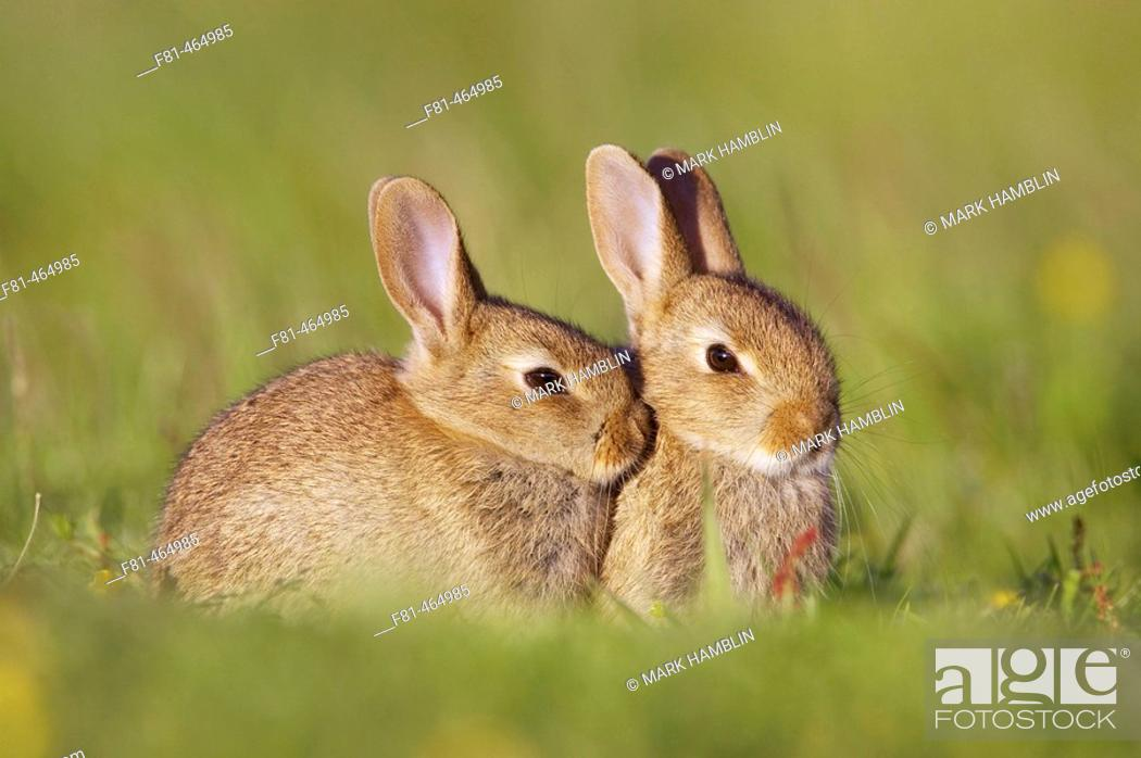 Stock Photo: Rabbit (Oryctolagus cuniculus), two youngsters outside burrow entrance in late evening sun. Scotland. July 2005.