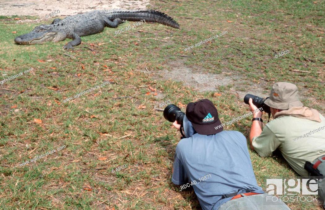 Stock Photo: Photographers and American Alligator Everglades national park Florida USA Alligator mississippiensis.