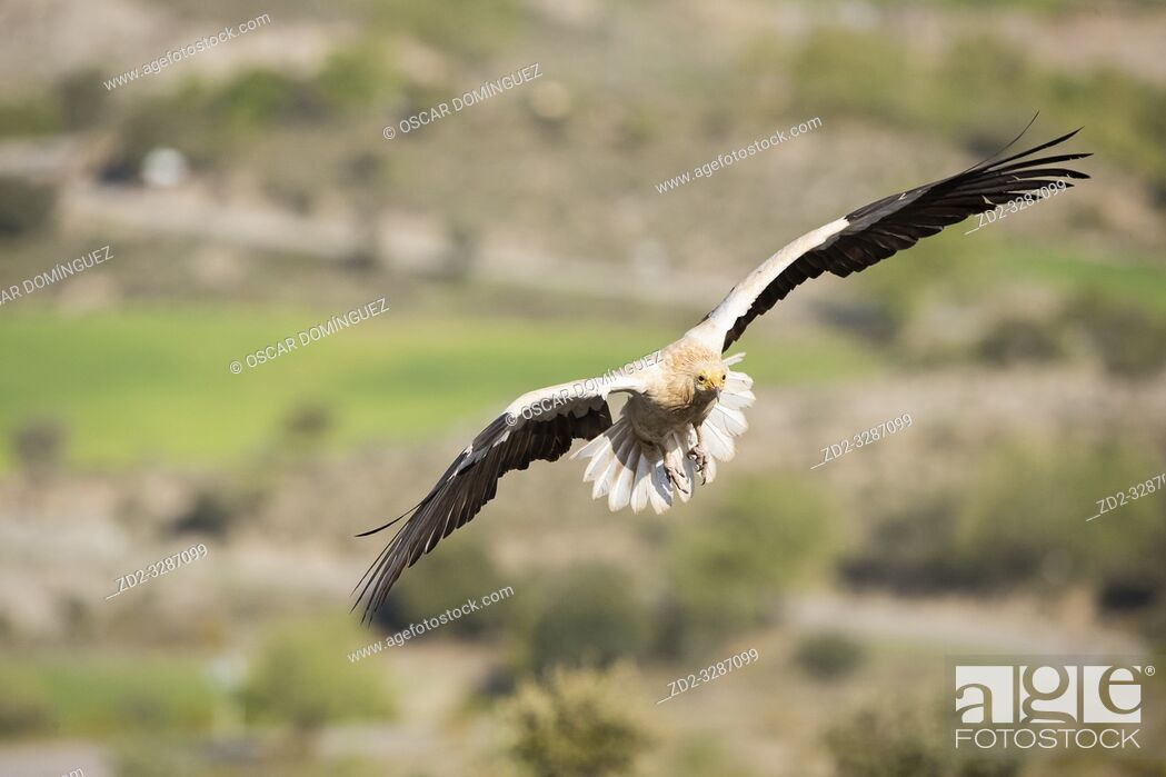 Stock Photo: Egyptian vulture (Neophron percnopterus) in flight. Pre-Pyrenees. Lleida province. Catalonia. Spain. Endangered species.