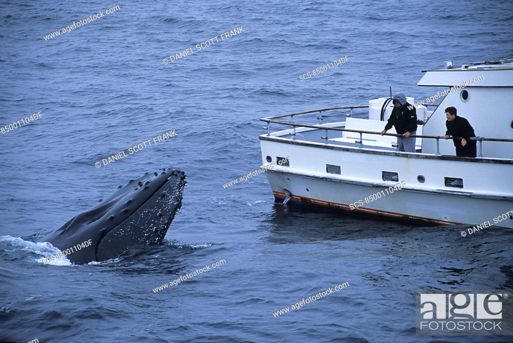 Stock Photo: Humpback whale,Megaptera novaeangliae,being friendly or curious towards whale watch boat full of people,whale is spy hopping view of tubercles and splash gaurd.