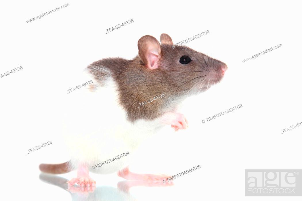 Stock Photo: fancy rat.