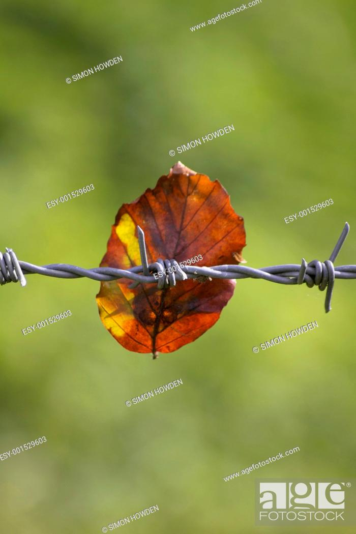 Stock Photo: Barbed Wire and Leaf.