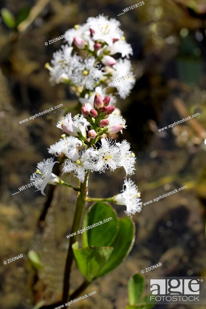 Stock Photo: Menyanthes trifoliata, Marsh Trefoil, Bog-Bean.