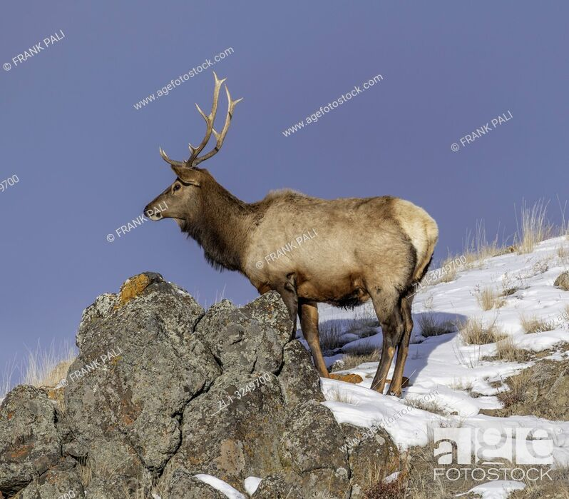 Stock Photo: Bull elk (Cervus canadensis) grow antlers for the fall mating season and keep them through the winter, they fall off for the new yearâ. . s growth.