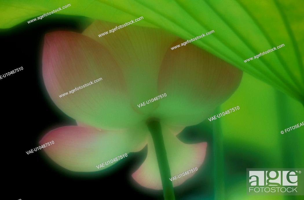 Stock Photo: Flower Of Lotus.