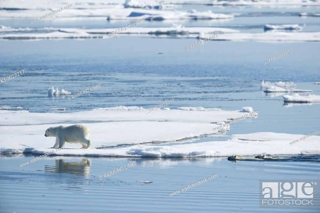 Imagen: Polar Bear, Ursus maritimus, Mother with Two Cubs in Water, North East Greenland Coast, Greenland, Arctic.