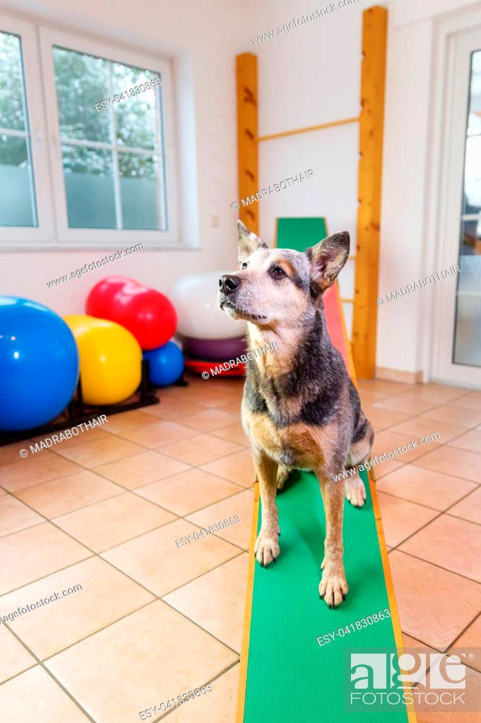 Stock Photo: Australian Cattledog sits on a seesaw in an animal physiotherapy office.