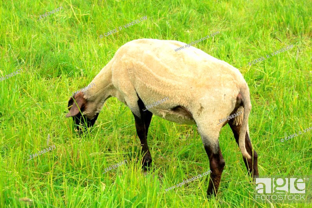 Stock Photo: Freshly sheared sheep in pasture in Hoensbroek.
