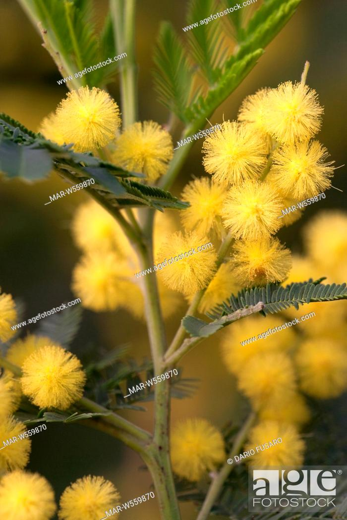Wattle Acacia Dealbata Gaulois Astier Stock Photo Picture And