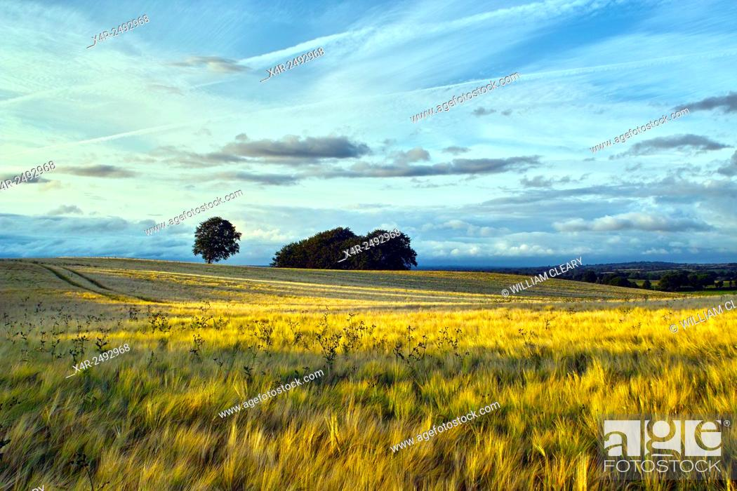 Stock Photo: A ripening field of Barley at early evening, Coolnahay, County Westmeath, Ireland.