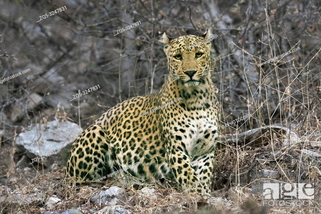 Imagen: Indian Leopard, Jhalna Forest Reserve, Jaipurr, Rajashthan.