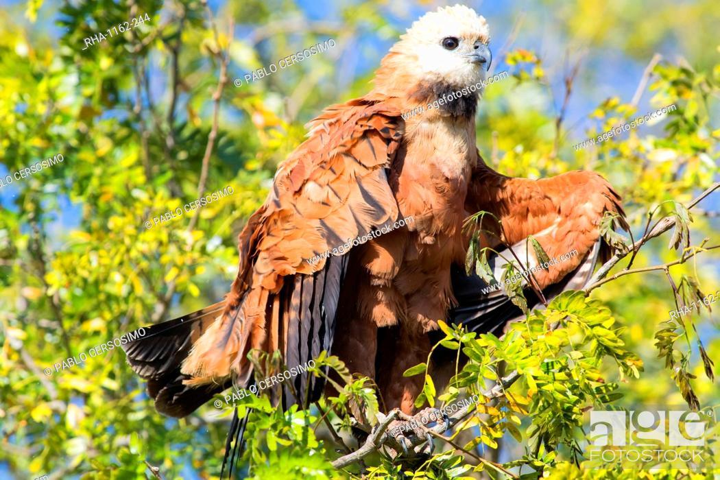 Stock Photo: Black collared hawk (Busarellus Nigricolis), Pantanal, Mato Grosso, Brazil, South America.