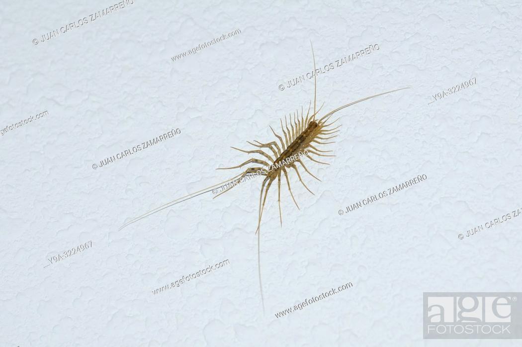 Imagen: Scutigera coleoptrata,house centipede or hundred legged,Miranda de Azan,Salamanca,Castilla y Leon,Spain.