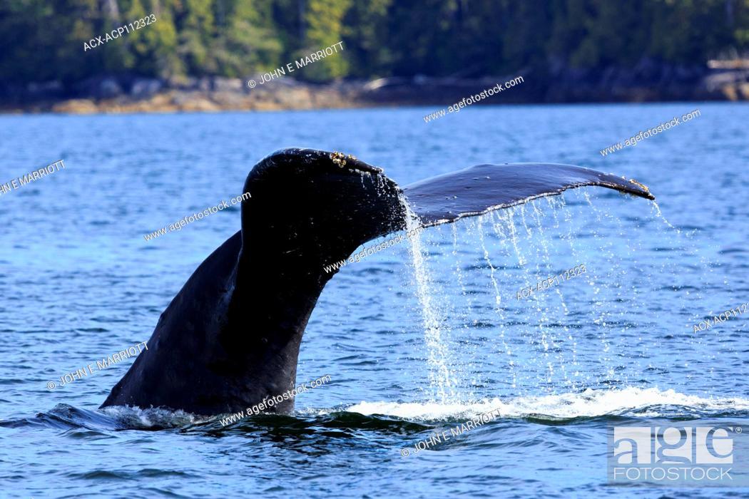 Imagen: Humpback whale, Megaptera novaeangliae, British Columbia coast, Canada.