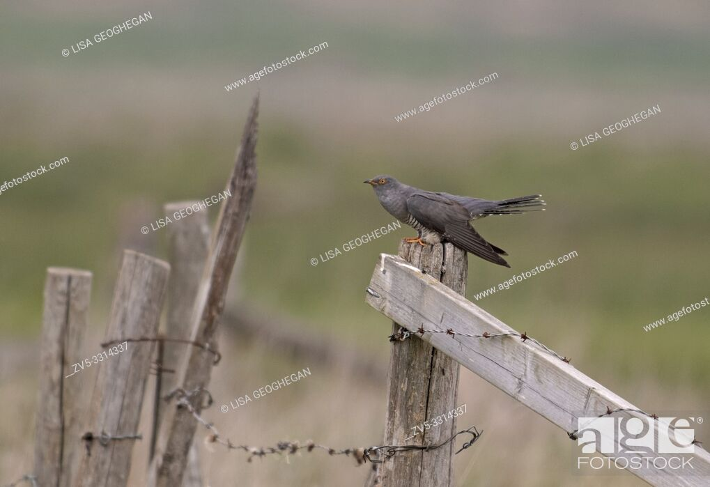 Stock Photo: Male Cuckoo-Cuculus canorus displaying. Spring.