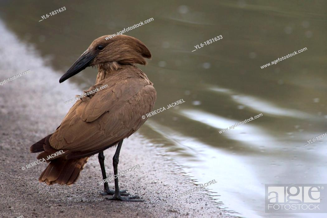 Stock Photo: A Hammerkop pauses on the shore of a lake in Ethiopia.