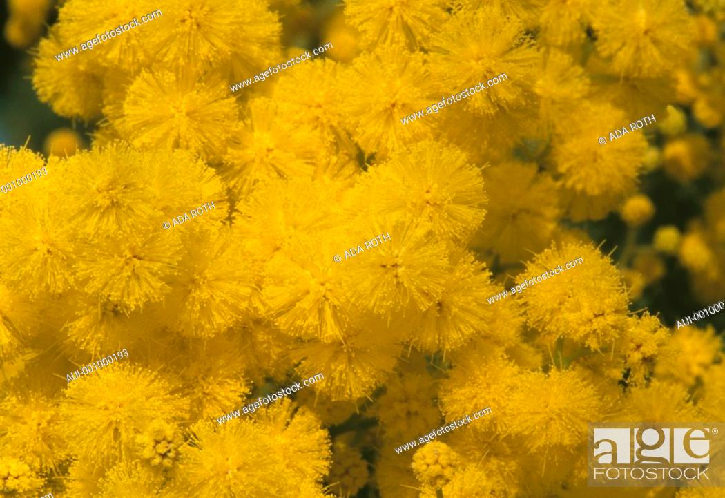 Stock Photo: Acacia dealbata - golden yellow explosion - a cheerful winter transport - enchanting fragrance.