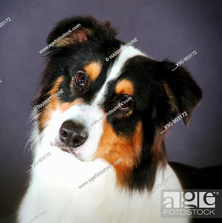 Stock Photo: Australian Shepherd.