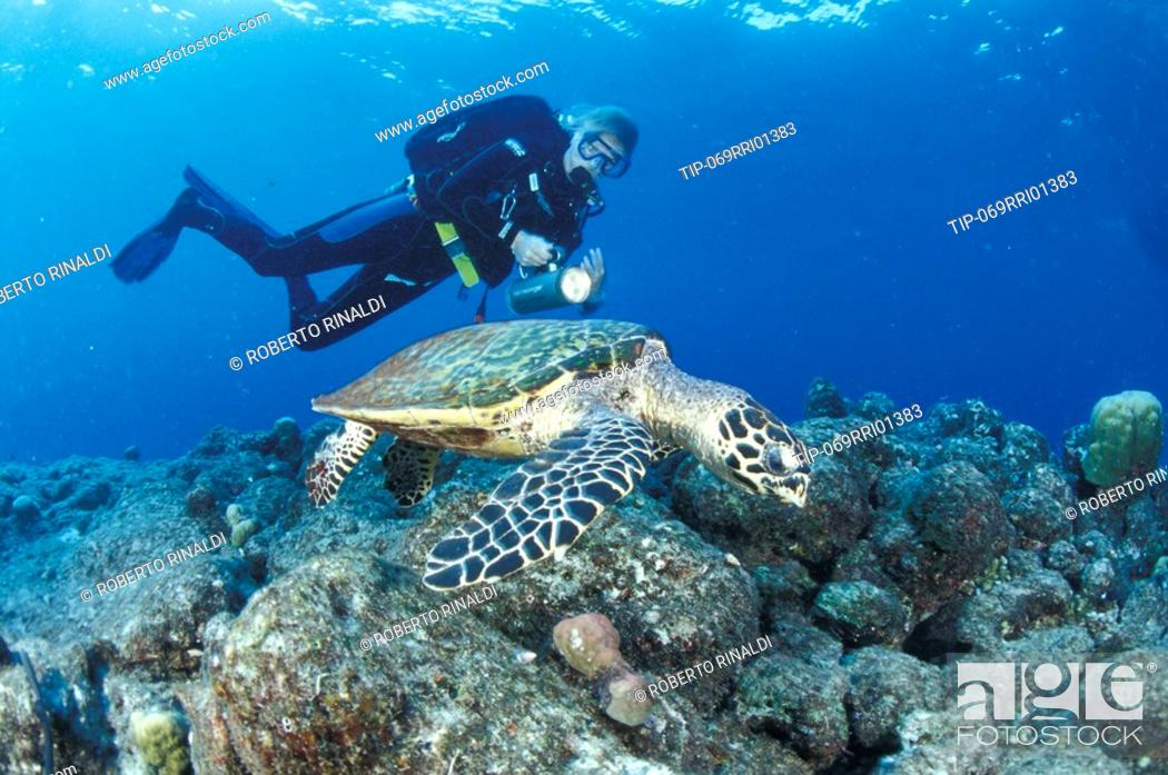 Stock Photo: Papua, New Guinea, Hawksbill turtle Eretmochelys imbricata with diver.