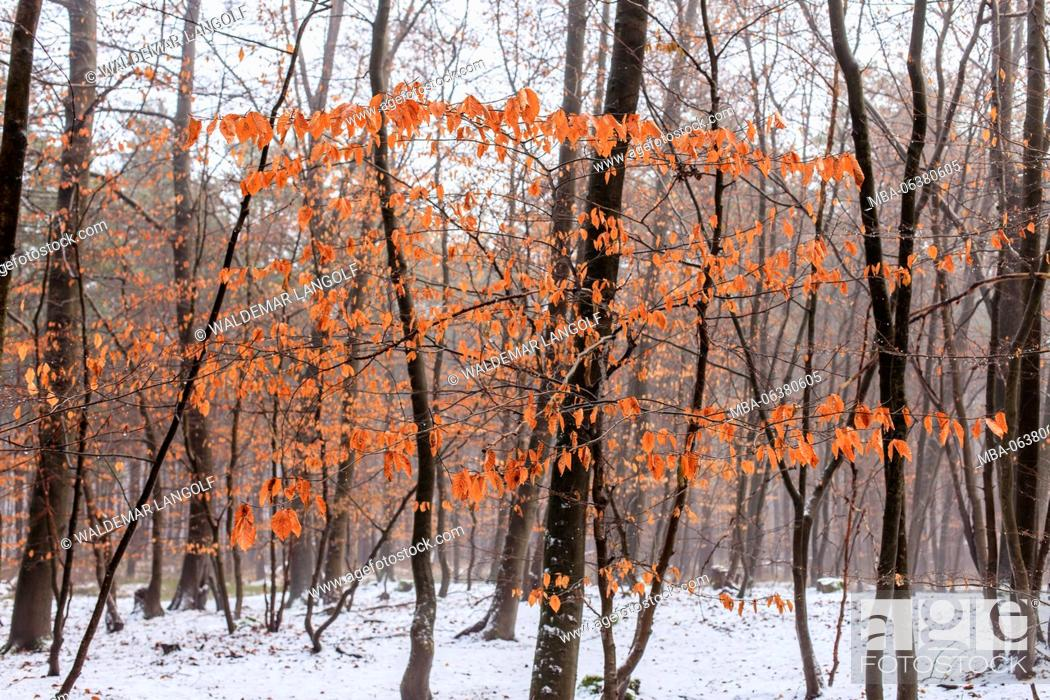 Stock Photo: young beeches in winter.