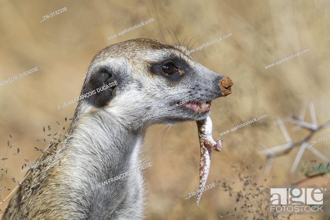 Stock Photo: Meerkat (Suricata suricatta), adult male at the burrow, feeding on a gecko, alert, Kgalagadi Transfrontier Park, Northern Cape, South Africa, Africa.