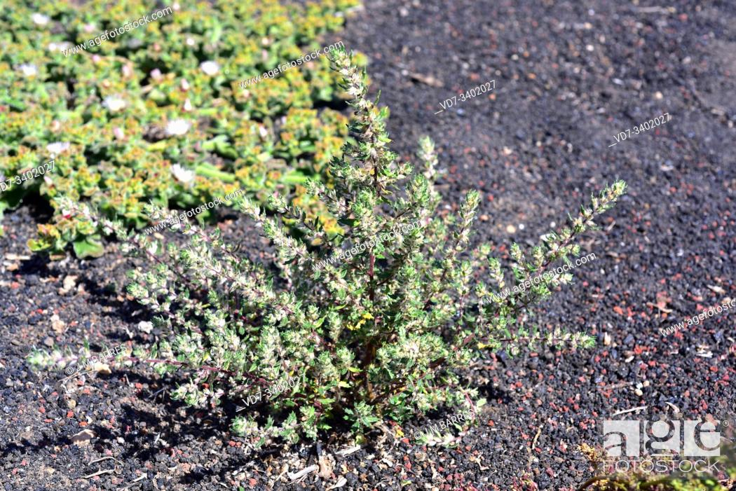 Stock Photo: Hierba ratonera or ratonera (Forsskaolea angustifolia) is a perennial herb or subshrub endemic to Canary Islands and northwestern Africa.