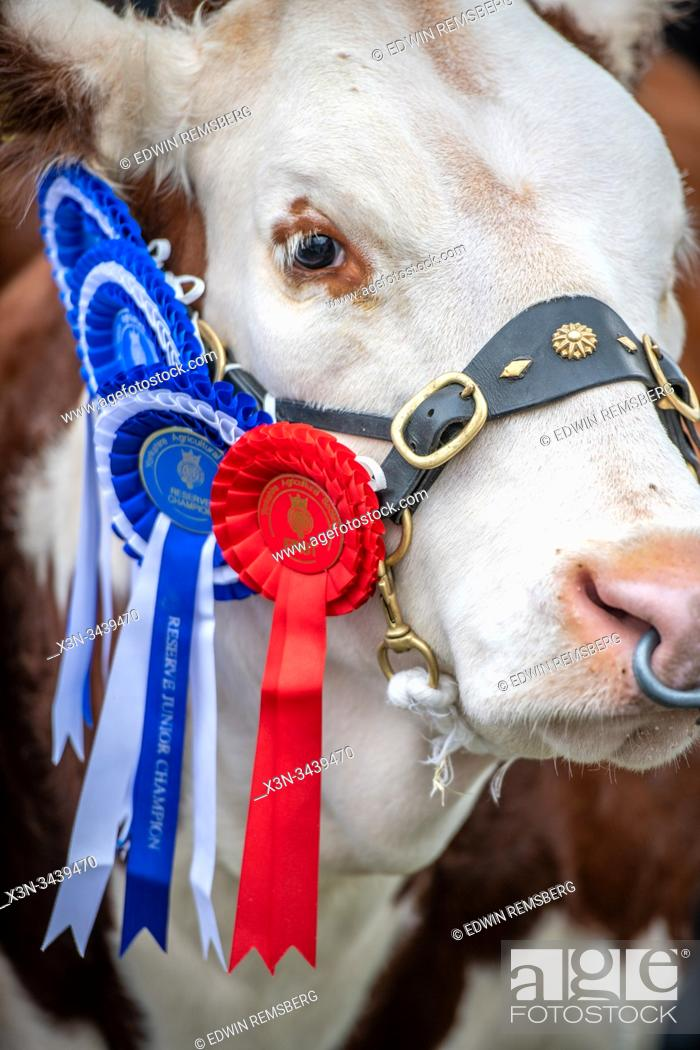 Imagen: Ribbons adorn the award winning cattle of the Great Yorkshire Show, Harrogate, Yorkshire, UK.