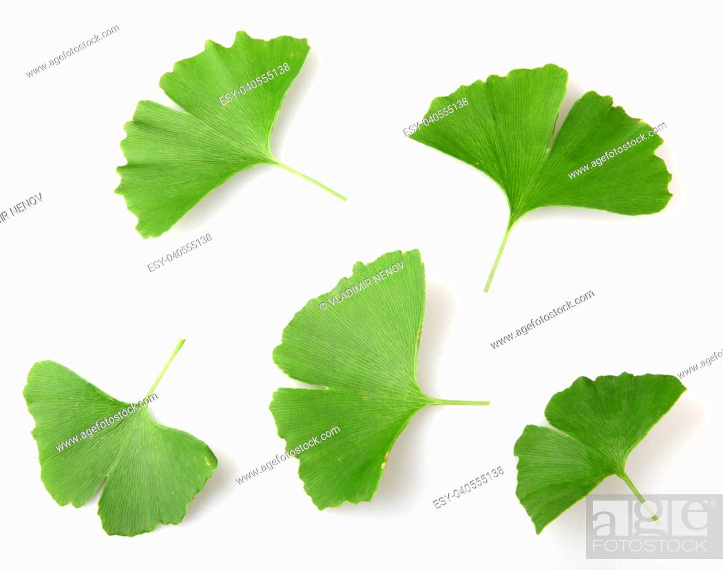 Stock Photo: Ginkgo Biloba Leaf Isolated On White Background.