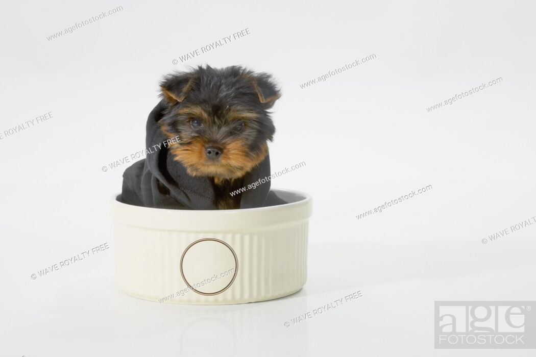 Stock Photo: Yorkshire Terrier dog wearing a black hooded sweatshirt sitting in a bowl.