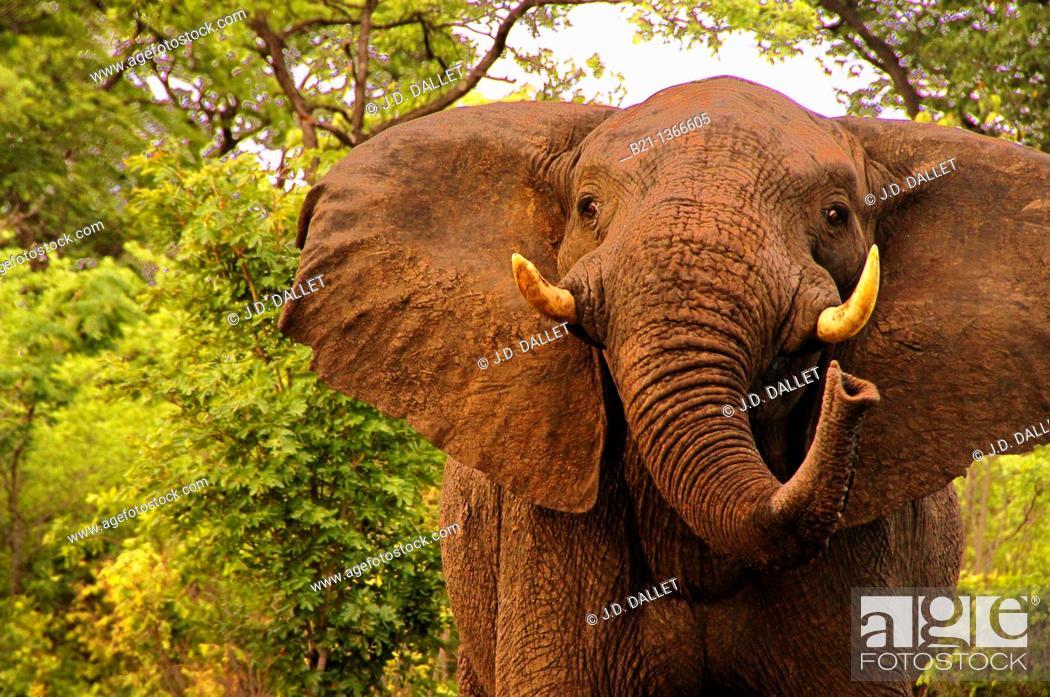 Stock Photo: Elephant (Loxodonta africana) in the Sibuyu Forest Reserve, Botswana.