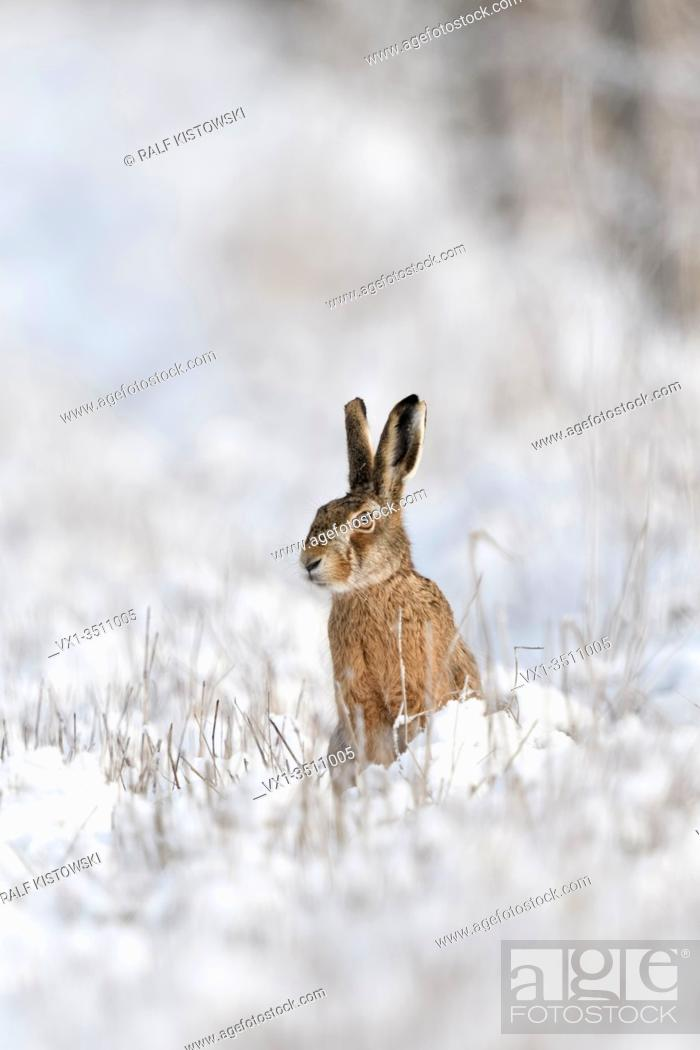 Stock Photo: Brown Hare / European Hare / Feldhase ( Lepus europaeus ) in winter, sitting at the edge of a snow covered meadow, watching attentively, wildlife, Europe.