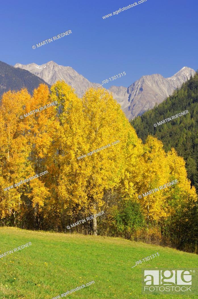 Stock Photo: Aspen or Commen Aspen Populus tremula in autumn  Dolomites, Alps, South Tyrol, Alto Adige, Italy, Europe.