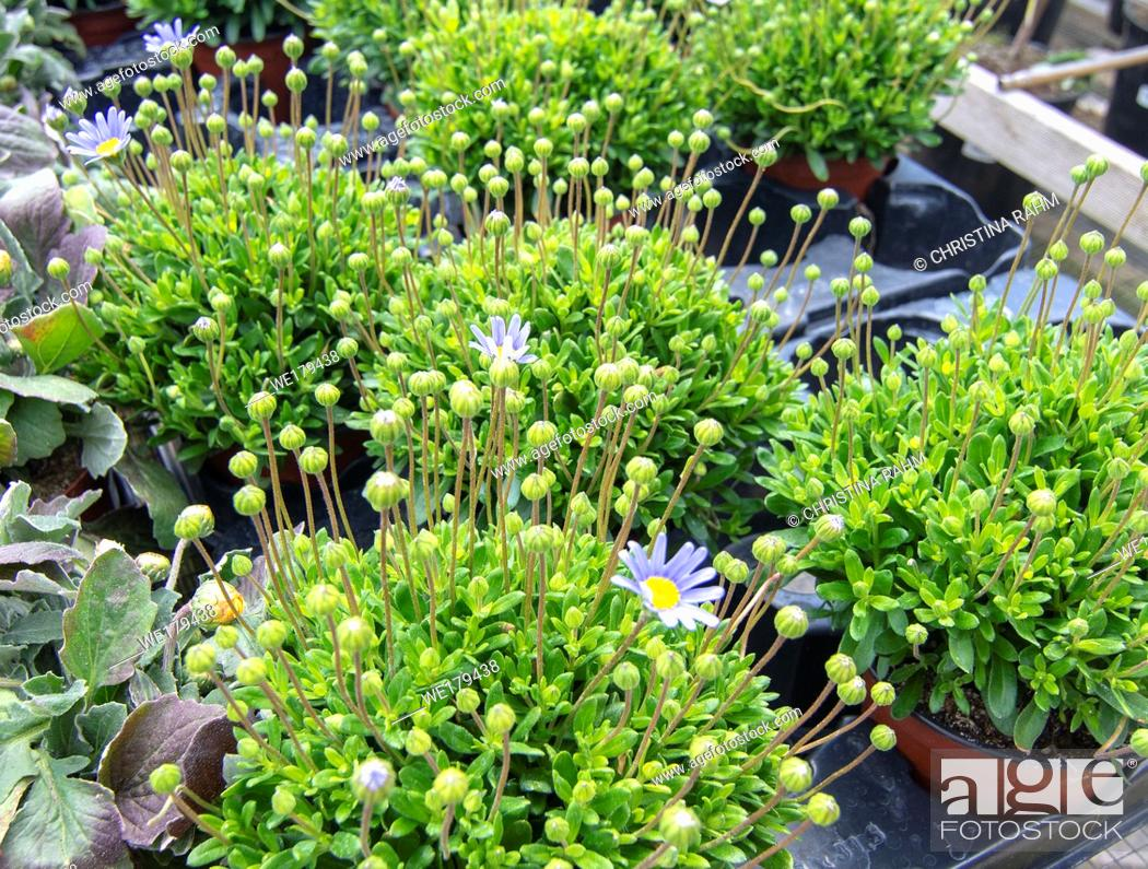 Stock Photo: Small blue Agathea plants with blue flowers in pots. Spring garden series, Mallorca, Spain.